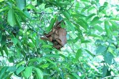 布朗蚂蚁在树,密集的叶子筑巢 图库摄影