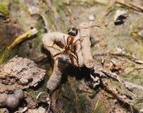 布朗蚂蚁 库存照片