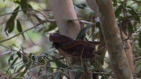 布朗蛇在一棵树盘绕了在澳大利亚,从左边的看法 股票视频