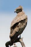 布朗蛇老鹰 库存图片