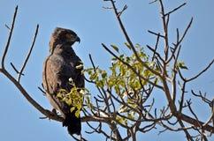 布朗蛇老鹰(Circaetus cinereus) 免版税库存照片
