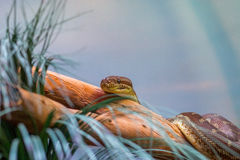 布朗蛇 免版税图库摄影
