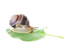 布朗蜗牛 库存照片