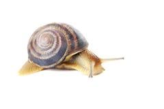布朗蜗牛 免版税库存图片