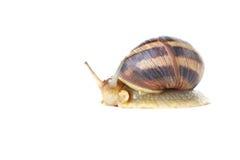 布朗蜗牛 免版税图库摄影