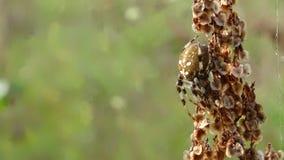 布朗蜘蛛 库存照片