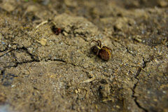 布朗蜘蛛 免版税库存照片
