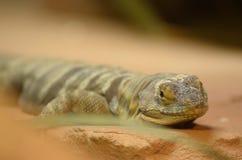 布朗蜥蜴休息 库存照片