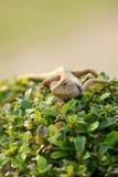 布朗蜥蜴,树蜥蜴,蜥蜴皮肤细节在树黏附 免版税库存图片