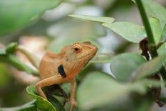 布朗蜥蜴,树蜥蜴, 免版税库存图片