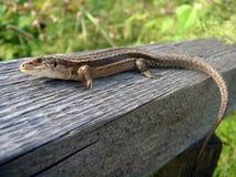 布朗蜥蜴 免版税库存照片