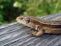 布朗蜥蜴 免版税库存图片