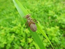 布朗蜻蜓在绿草,立陶宛熔铸了 库存照片