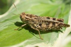 布朗蝗虫拉特 在一片绿色叶子的蝗科 库存照片