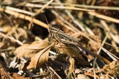 布朗蝗虫/蚂蚱坐一片棕色叶子 库存照片