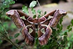 布朗蝴蝶 免版税图库摄影