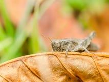 布朗蟋蟀蚂蚱 库存图片