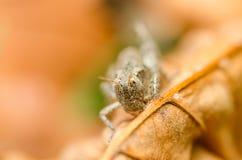布朗蟋蟀蚂蚱 免版税库存照片