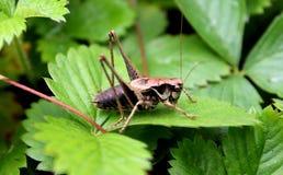 布朗蟋蟀 库存照片