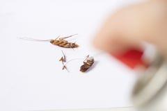 布朗蟑螂或Blattodea谎言由杀虫药 免版税库存图片