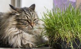 布朗西伯利亚品种,与草的长发男性的猫面孔 库存图片