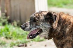 布朗西伯利亚爱斯基摩人狗 免版税库存图片