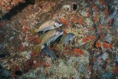 布朗贫乏鱼石首鱼科本影地中海 免版税库存照片