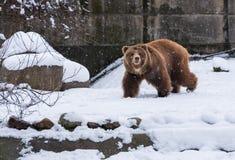 布朗走在雪背景的北美灰熊 库存照片