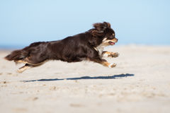布朗跑在海滩的奇瓦瓦狗狗 图库摄影