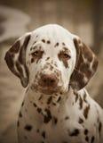 布朗达尔马希亚小狗纵向 免版税库存照片