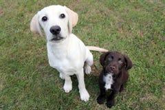 布朗逗人喜爱的小狗和拉布拉多坐了查寻 免版税库存图片
