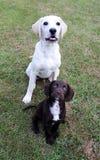 布朗逗人喜爱的小狗和拉布拉多小狗 图库摄影