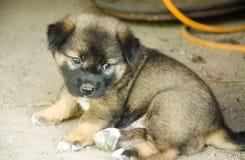 布朗逗人喜爱的小狗照片在泰国 库存照片
