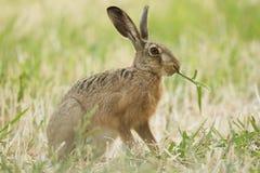 布朗野兔在夏天 免版税库存图片