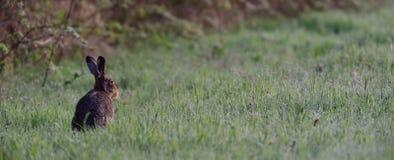 布朗野兔在草甸 库存图片