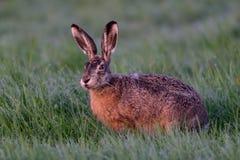 布朗野兔在草甸 图库摄影