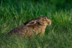 布朗野兔在草甸 免版税库存图片