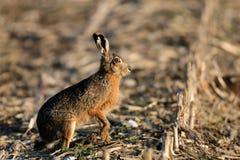 布朗野兔看 免版税库存图片
