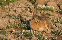 布朗野兔,在一个领域的天兔座europaeus与俏丽花吃 库存照片
