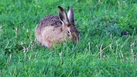 布朗野兔,天兔座europaeus,休息和吃在长的草中在cairngorms NP,苏格兰的傍晚期间 股票录像