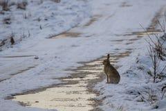 布朗野兔,天兔座europaeus,坐积雪的地面在冬天期间在cairngorm国家公园,苏格兰 库存照片