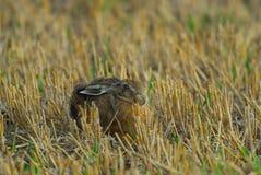 布朗野兔 库存图片