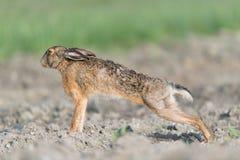 布朗野兔 免版税库存图片