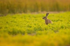 布朗野兔 库存照片
