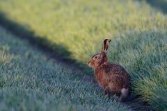 布朗野兔 免版税库存照片