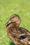 布朗野鸭(语录platyrhynchos)在绿草 库存照片