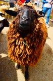 布朗金绵羊 免版税库存图片