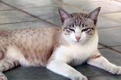 布朗镶边了与放下在地板上的白色颜色猫 与软的毛皮的一只小被驯化的肉食哺乳动物 免版税库存图片