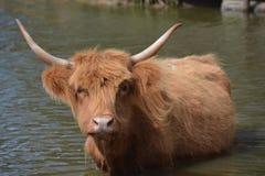 布朗长毛的母牛在水中 图库摄影