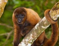 布朗长毛猴 库存图片